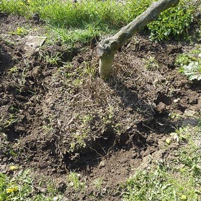 Kmínek lískového ořechu působí velmi křehce, ale jeho kořeny jsou zapeklitě početné