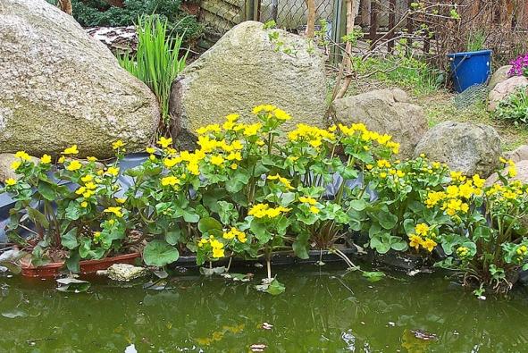 Blatouch bahenní (Caltha palustris) roste na podmáčených stanovištích od nížin až do hor. Dorůstá 30 až 50cm, výjimečně až 1m. Kvete žlutě od dubna do června, je mírně jedovatý. Dolní listy má řapíkaté,horní až přisedlé