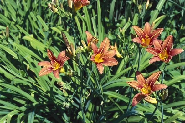 Denivka (Hemerocallis) je nezmarem venkovských zahrad. Pochází zAsie, kde je oblíbenou zeleninou, konzumují se zejména poupata, ale také rozvité květy apodzemní svazčité oddenky