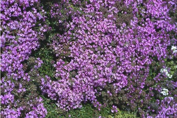 Květy mateřídoušky milují děti, dospělí raději sáhnou po tymiánu svýraznější itrochu pálivější chutí