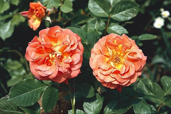 Pro kulinářské účely vybíráme vonné druhy aodrůdy růží. Velmi se liší vůní ajejí intenzitou. Nezbývá, než se provonět knejoblíbenější vůni. Před zpracováním vykrojte světlou nahořklou spodní část květního lístku