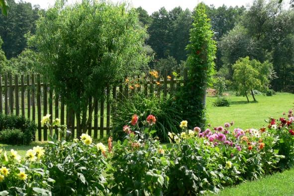 Jiřiny jsou v zahradě díky svým květům velmi dekorativní