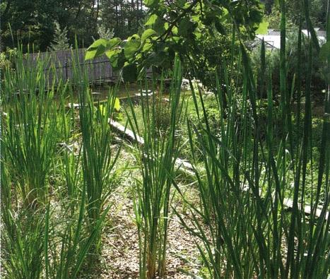 Orobinec a další druhy čisticích rostlin