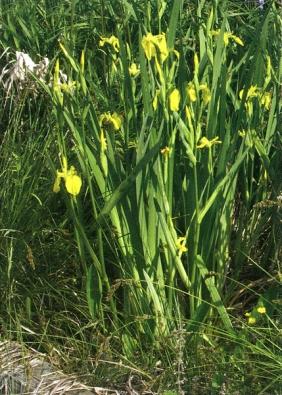 Žluté bahenní kosatce patří mezi rostliny, které vám pomohou kořenovou čističku výrazně zkrášlit.