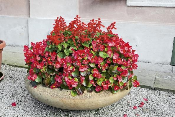 """Begonia semperflorens – hybridy nebo také """"voskovky"""" či """"ledovky"""" vkeramické míse."""