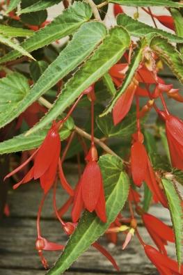 Begonia boliviensis je jedním zrodičů velkokvětých hlíznatých hybridů. Křehce vyhlížející planý druh má však neobyčejný půvab askvěle vypadá například vzávěsných nádobách. Je to květina spíše do přistíněného prostoru, na slunci se pálí. Před zimou zatahuje, hlízu uchováváme vchladu asuchu.