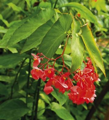 Begonia coralina je vzpřímený druh vysoký asi 120–150cm. Nápadně abohatě kvete, proto se hojně používá ke křížení. Potřebuje hodně světla achladnější přezimování, velmi dobře roste na chodbách averandách.