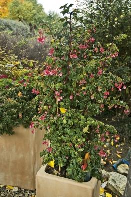 Begonia fuchsioides pochází zhor Jižní Ameriky. Je to ideální rostlina do nádob na zahradu, vzpřímené stonky dosahují asi metrové výšky avytvářejí kompaktní bohatě kvetoucí keřík.