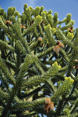 Semena chilské Araucaria araucana měla obrovský význam pro indiánský kmen Mapučů. Kvalitní dřevo mají všechny druhy avminulosti byly celé populace nemilosrdně drancovány. Dnes se setkáte na jihu Evropy sAraucaria heterophylla nebo vAnglii aHolandsku sA. araucana jako sokrasnými dřevinami.