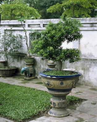 Některé častěji pěstované tropické druhy rodu Podocarpus se ve východní Asii tradičně tvarují jako bonsaje.