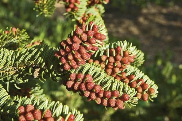 Samčí šištice jedle řecké (Abies cephalonica) krášlí větve zhruba vpolovině jara.
