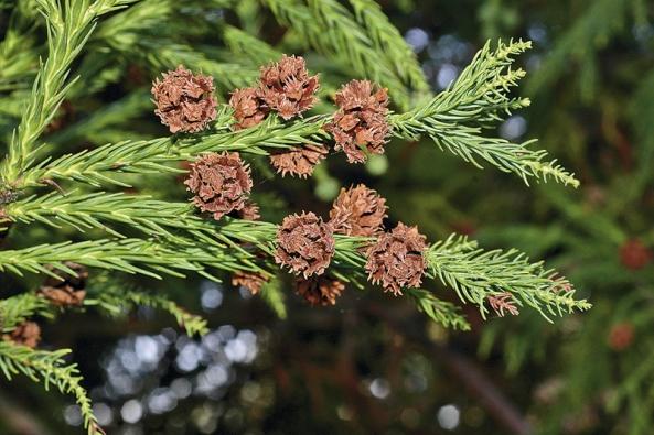 Cryptomeria japonica je oblíbeným japonským jehličnanem, který se unás vteplejších oblastech pěstuje poměrně často. Má rezavou kůru, která hezky kontrastuje stmavozeleným jehličím.