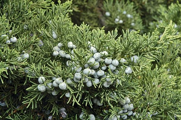 Snad nejčastěji pěstovaným jalovcem je keřovitý Juniperus virginiana nebo zcela přízemní Juniperus horizontalis, často používaný jako pokryvný keř místo trávníku.