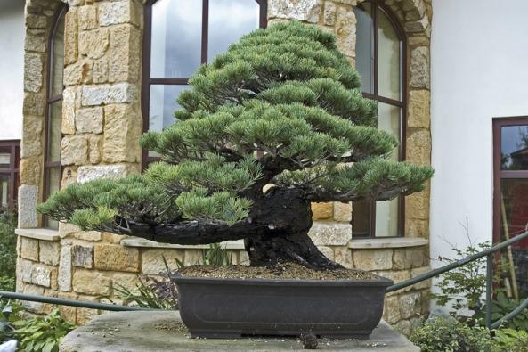 Některé druhy borovic snesou téměř jakékoliv tvarování aomezování kořenového balu, takže se často pěstují jako bonsaje.