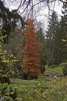 Tisovec Taxodium distichum je na zimu opadavým jehličnanem, podobně jako modřín. Zatímco jehlice modřínu na podzim nádherně žloutnou, jehličí tisovce se barví do ohnivě zrzavé.