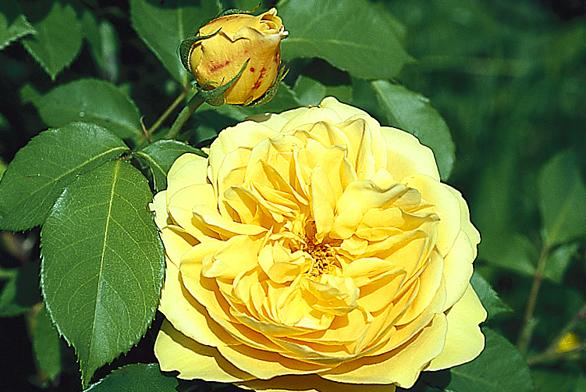 Anglická růže 'Graham Thomas' zr. 1983 patří doskupiny New English Roses – anglických růží, které vznikají veškolkách Davida Austina odkonce minulého století. Květ má silnou vůni čajových růží.