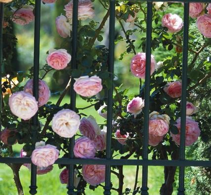 Předem se vždy dobře informujte o vlastnostech zvolené růže.