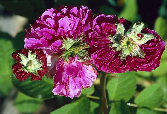 Jiné odrůdy stolístek vytvoří uprostřed květu další poupě.
