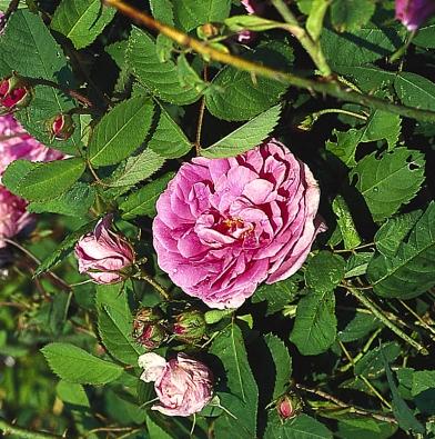 Osvědčenou půvabnou starou růží našich zahrad je odnožující růže stolistá (Rosa centifolia). Všechny odrůdy tohoto druhu růže kvetou pouze jednou zarok.