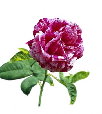 Stará, jednou kvetoucí odrůda 'Ferdinad Pichard' patří mezi pruhované růže. Barevná hra květů bývá odpradávna cílem šlechtitelů, ato nejen pruhování, ale inejrůznější barevné přechody.