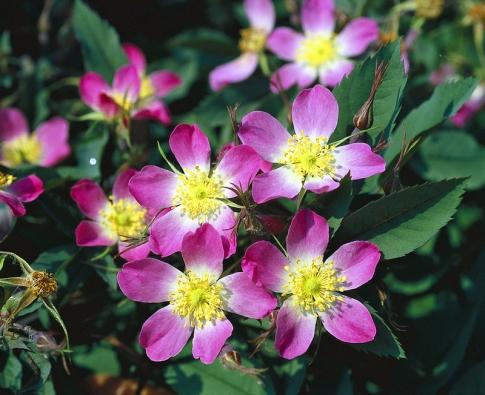 Pro zvláštní divoký vzhled je do zahrad vysazována růže sivá (Rosa glauca) skrásnými šípky. Kvete pouze včervnu. Do zahrady vnáší atmosféru planých růží izvláštní eleganci tvarem abarvou listu (jsou červenavé asivé). Výška asi 2 metry. Květy vyrůstají vbohatých řídkých květenstvích. Je prošlechtěna do několika odrůd lišících se barvou květu, listu atvarem šípku. Odnožuje. Původní druh roste planě vhorách Evropy.