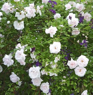 Do skupiny starých odrůd růží bývají někdy zařazovány i málo prošlechtěné původní, takzvané botanické růže.