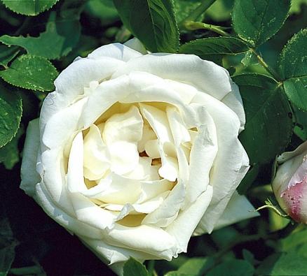 Podnes oblíbená opakovaně kvetoucí otužilá remontantka 'Frau Karl Druschki' byla vyšlechtěna vroce 1901 Peterem Lambertem. Dosahuje výšky až 2 metry. Množí se očkováním, neodnožuje.