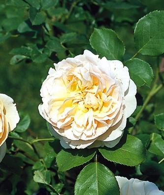 Anglická růže 'Evelin' se vyznačuje plným květem azvláštní jemně růžovožlutou barvou. Barvy anglických růží jsou vyšlechtěny veškále odtmavě červené přes nejrůznější tóny růžové, oranžové, žluté až pobílou barvu. Většinou to jsou vysoké, dvoumetrové keře, některé odrůdy jsou nižší.