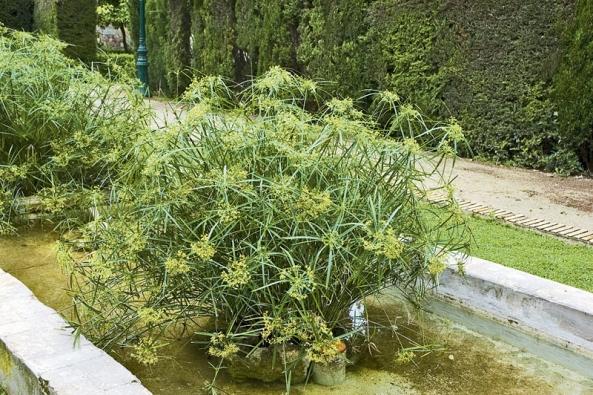 Šáchor (Cyperus) se pěstuje jako okrasná rostlina nejen unás. Snad vkaždém tropickém parku bývá vysazený do různých kašniček, jezírek avodních nádrží.
