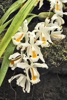 """Podobné požadavky jako Dendrobium nobile má i himálajská orchidej Coelogyne cristata. Přezimuje v chladnu s minimem vláhy ajejí květy se objevují během března. Pro jejich barevnou kombinaci a krátkou trvanlivost se jim říkávalo """"vajíčko na měkko""""."""