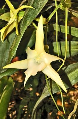 Angraecum sesquipedale, nazývané Madagaskarská hvězda, patří knejkrásnějším orchidejím světa. Zásluhu na tom má nejen velikost květu, jehož ostruha dosahuje délky až 30cm, ale ijeho smetanová barva avoskovitá pevnost.
