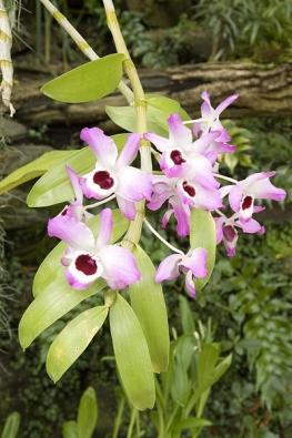 Dendrobium nobile není obtížné na pěstování, ale je nutné s citem postupně omezit podzimní zálivku asnížit teplotu. Na jaře zase teplotu i zálivku zvýšíme, zároveň se dočkáme ipestrých pěkných květů.