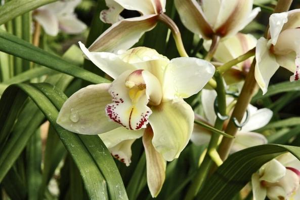 Hybridy rodu Cymbidium jsou oblíbenou květinou ik řezu, ve váze vydrží bez potíží dva týdny. Pěkné jsou miniaturní kultivary, které se pěstují jako hrnkové orchideje.