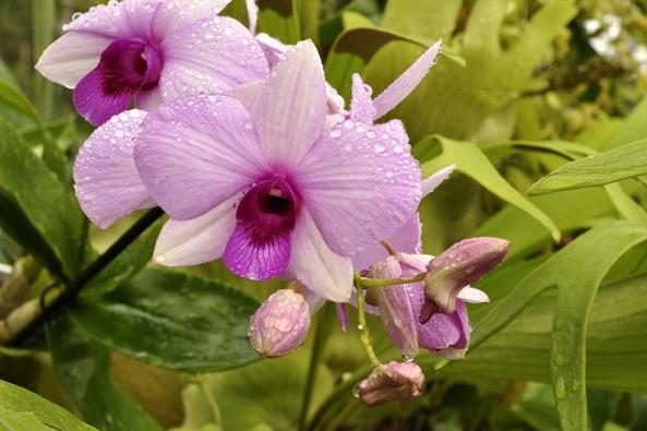 Orchidej Dendrobium biggibum je jako stvořená pro pěstitele začátečníky. Pokud má dost slunce, teplotu nad bodem mrazu a nestojí ve vodě, tak vydrží téměř jakoukoliv pěstitelskou nedbalost.