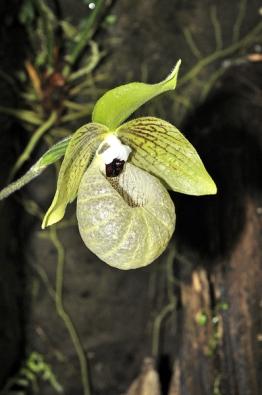 Jeden zmnoha původních druhů, nedávno objevený Paphiopedilum malipoense, je mezi zkušenějšími pěstiteli velmi populární. Zelený květ vypadá tak trochu jako ze skla amezi uměle působícími hybridy se vyjímá jako drahý šperk.