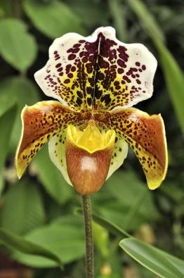 Kříženci střevíčníkovců (Paphiopedilum) mají obří nápadné květy anebývají tak citliví na správnou zálivku vzimním období. Základním požadavkem je nepřelévat anikdy nenechat rostlinu stát ve vodě.