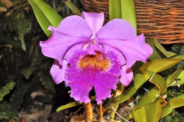 """Hybridy rodu Cattleya jsou orchidejovou """"klasikou"""". Pěstování není těžké a na osluněném okně se dočká úspěchu téměř každý."""