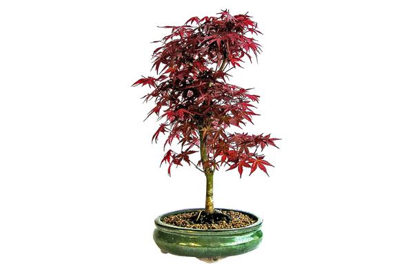 Javor dlanitolistý (Acer palmatum) má listy různých tvarů avelikostí vodstínech zelené afialové, které se na podzim zbarví od světle žluté přes zářivě žlutou, oranžovou, červenou arudou až po purpurově fialovou.