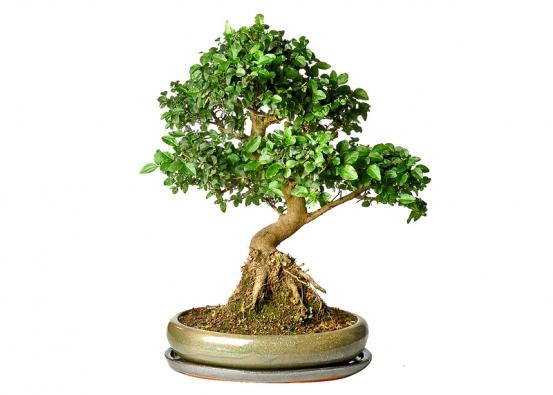 Strom tisíce hvězd (Serissa foetida) je původem zJaponska, potřebuje dostatek světla, na suchý vzduch nebo změnu místa reaguje opadáním lístků, které se však brzy obnoví.