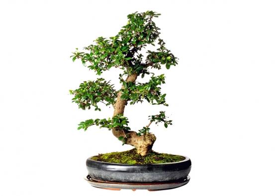 Ptačí zob (Ligustrum chinensis) pochází zČíny, kde se tato hojně větvená ahustá bonsaj používá na živé ploty, je vhodná pro začátečníky.
