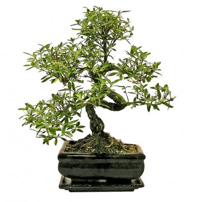 Čaj Fuki (Carmona retusa) je stálezelená dřevina, zjejíž kůry raší lesklé, tmavě zelené, malé lístky shrubými chloupky.