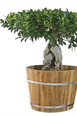Ficus microcarpa je jedním zmnoha fíkusů, které se pěstují jako bonsaje, aje oblíbeným především pro robustní stavbu avýrazný tvar.