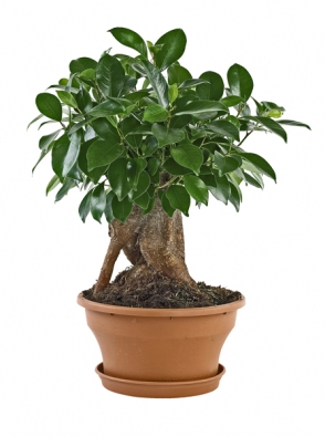 Většina fíkusů pocházíz tropických deštných pralesů Asie, dále jsou rozšířeny v Africe, ve Střední a Jižní Americe i na jihu Evropy.