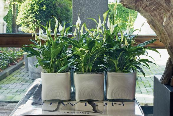 Spathiphyllum neboli lopatkovec miluje dostatek vody a vyžaduje minimálně pokojovou teplotu. Pokud to dodržíte, odmění se vám květy po celý rok. Zalévejte dvakrát týdně, v létě do vody přidávejte každé dva týdny tekuté hnojivo.