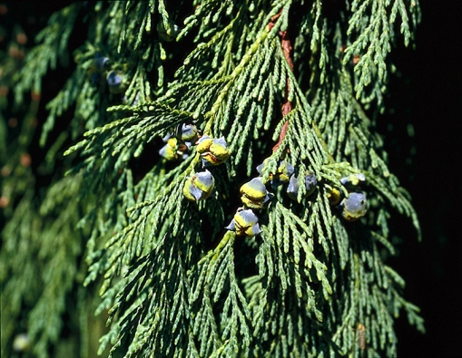 Cypřišek nutkajský neboli nutka – Chamaecyparis nootkatensis vyroste do výšky 25 m.