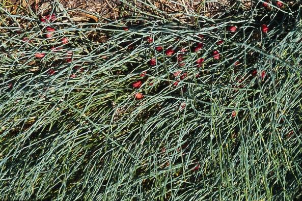 Jestliže si na zahradě hrají děti, raději červené plody chvojníku – Ephedra – otrhejte.