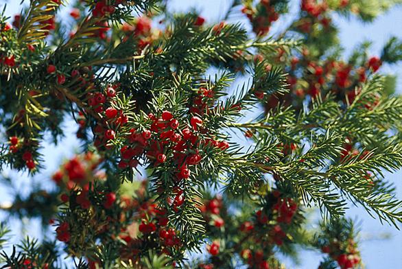Udvoudomého tisu červeného – Taxus baccata – samčí rostliny poprvé kvetou až vdeseti letech, samičí až ve dvaceti letech.