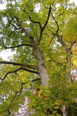 Lípa velkolistá (Tilia platyphylla) je klasikou českých zahrad. Dobře však zvažte, kam ji umístíte, doroste v mohutný strom vysoký až 35 m.