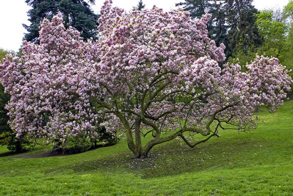 Šácholan Soulangeův  (Magnolia soulangiana). Na jaře se kvetoucí magnolie stává skutečnou královnou zahrady.