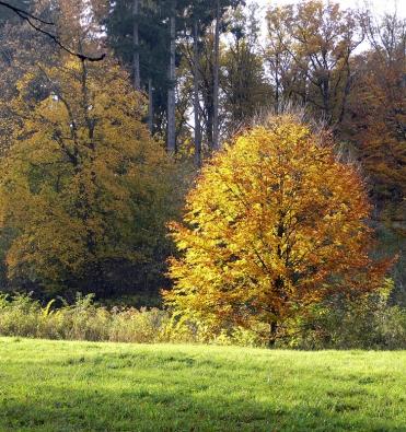 Na podzim se Javor mléč (Acer platanoides) zbarvuje do krásné žluti a tvoří výraznou dominantu.